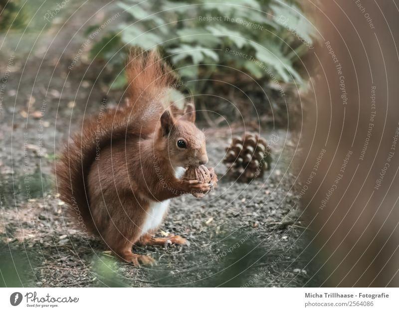 Eichhörnchen mit Walnuss Frucht Natur Tier Sonne Sonnenlicht Schönes Wetter Pflanze Baum Wildpflanze Tannenzapfen Wald Wildtier Tiergesicht Fell Krallen Pfote