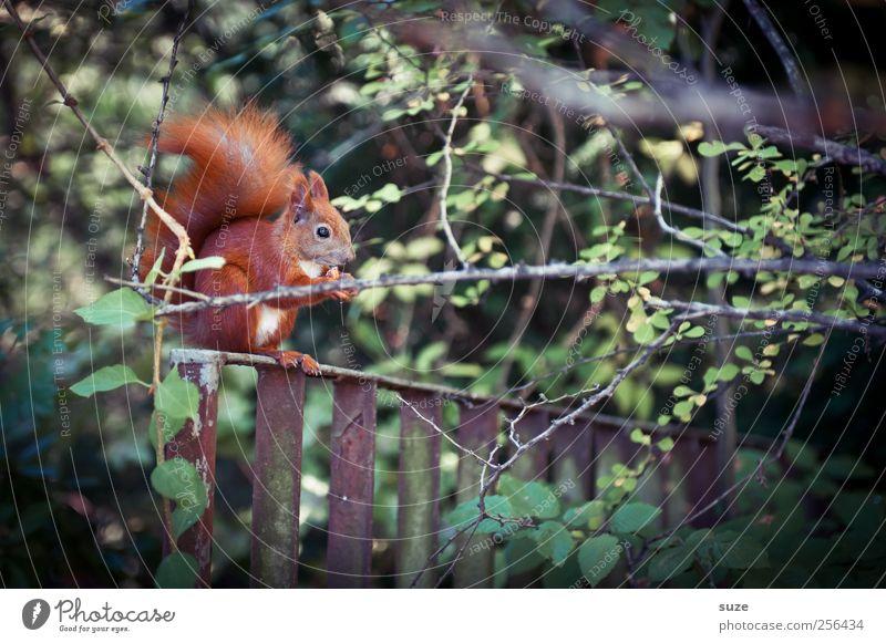 Nahaufnahme* schön Garten Umwelt Natur Landschaft Pflanze Tier Gras Park Wiese Fell Wildtier Fressen füttern niedlich Tierliebe Nuss Eichhörnchen Nagetiere