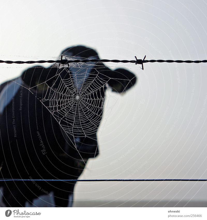 Muh Tier Nutztier Kuh 1 Spinnennetz Stacheldraht Natur Schleier anonym Gedeckte Farben Außenaufnahme Textfreiraum rechts Morgen Tierporträt