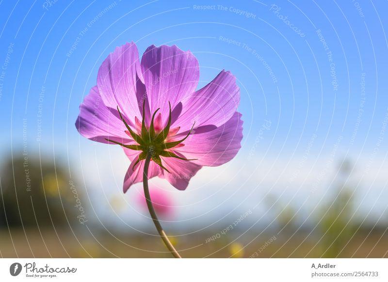 Kosmee Natur Landschaft Pflanze Himmel Wolkenloser Himmel Sommer Schönes Wetter Blume Gras Sträucher Blüte Schmuckkörbchen Wiese blau braun gelb grün rosa schön