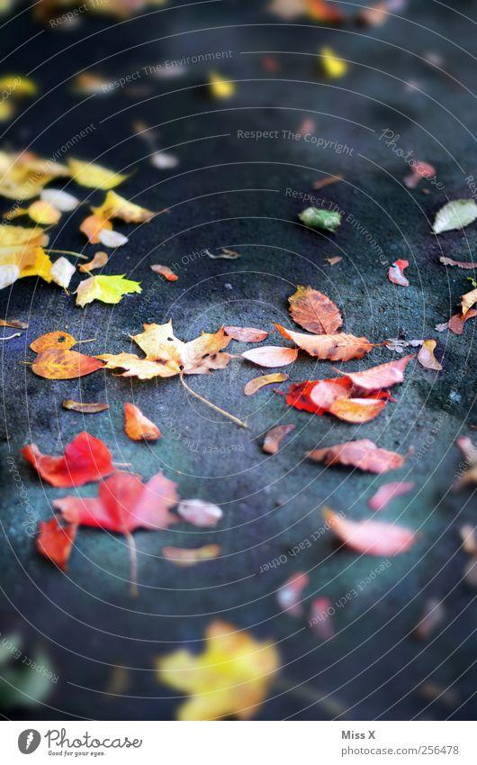 letztes Herbstbild Blatt Straße mehrfarbig Herbstlaub herbstlich Ahornblatt Bürgersteig Rutschgefahr Farbfoto Außenaufnahme Muster Menschenleer