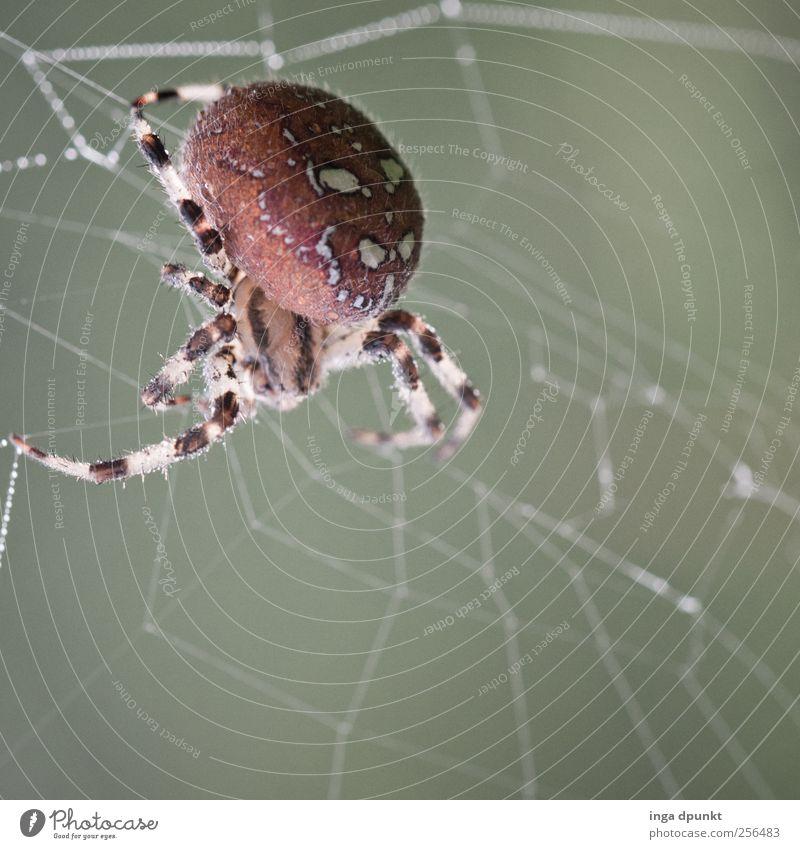 die Spinnen! Umwelt Natur Tier Herbst Garten Feld Wildtier Kreuzspinne 1 beobachten warten bedrohlich listig grau Willensstärke Macht Spinnennetz Leben Beute