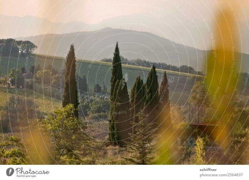 Streifzug durch die Toskana III Umwelt Natur Landschaft Pflanze Sommer Schönes Wetter Baum Gras Sträucher Wiese Feld Wald Wärme braun gold grün Italien Pinie