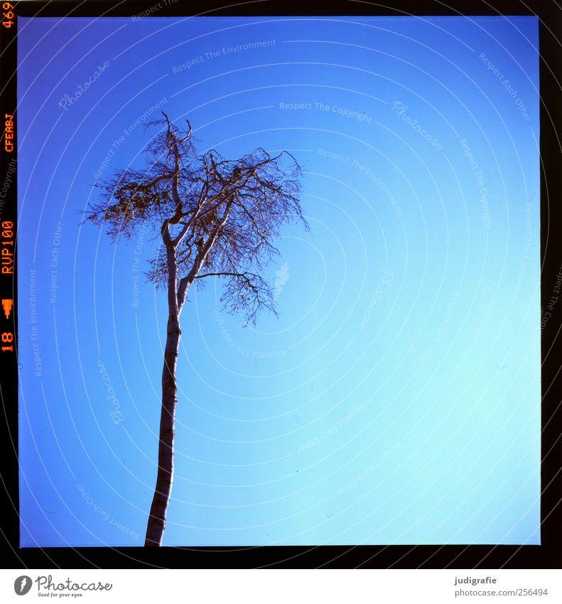 Weststrand Himmel Wolkenloser Himmel Baum Wachstum blau Natur Umwelt kahl Baumkrone Farbfoto Außenaufnahme