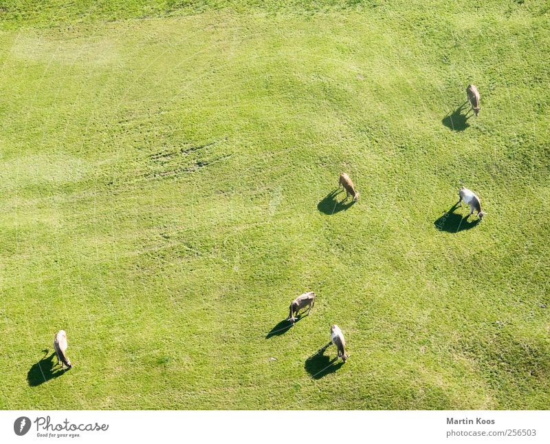Fleischtheke Natur grün Landschaft ruhig Tier Berge u. Gebirge Wiese natürlich Gras Ernährung Perspektive genießen Tiergruppe Sauberkeit Landwirtschaft Alpen