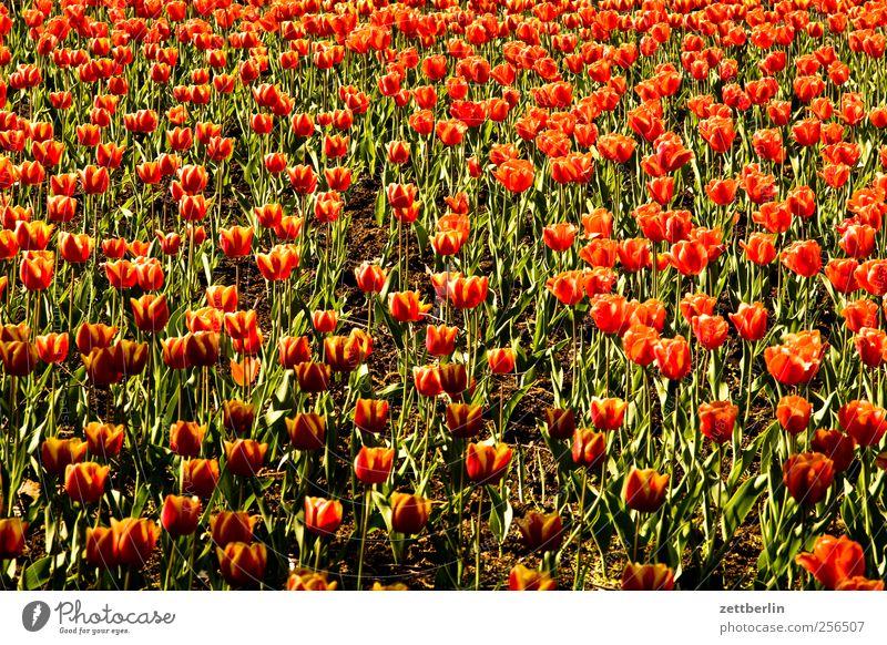 Tulpen Umwelt Natur Landschaft Pflanze Frühling Sommer Klima Wetter Schönes Wetter Blume Blatt Blüte Garten Park gut Tulpenfeld Frühlingsblumenbeet Blumenbeet