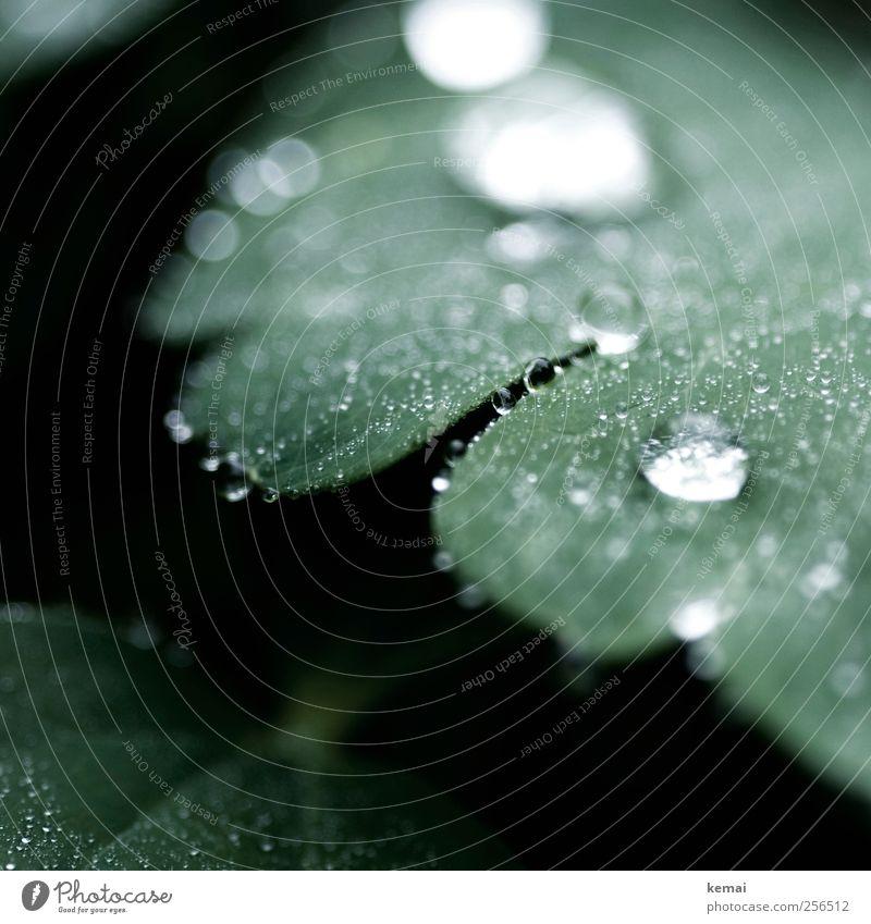 Perlen vor die Schweine Umwelt Natur Pflanze Wasser Wassertropfen Frühling Blatt Grünpflanze Tau Garten Park Wiese kalt nass grün benetzt feucht Farbfoto