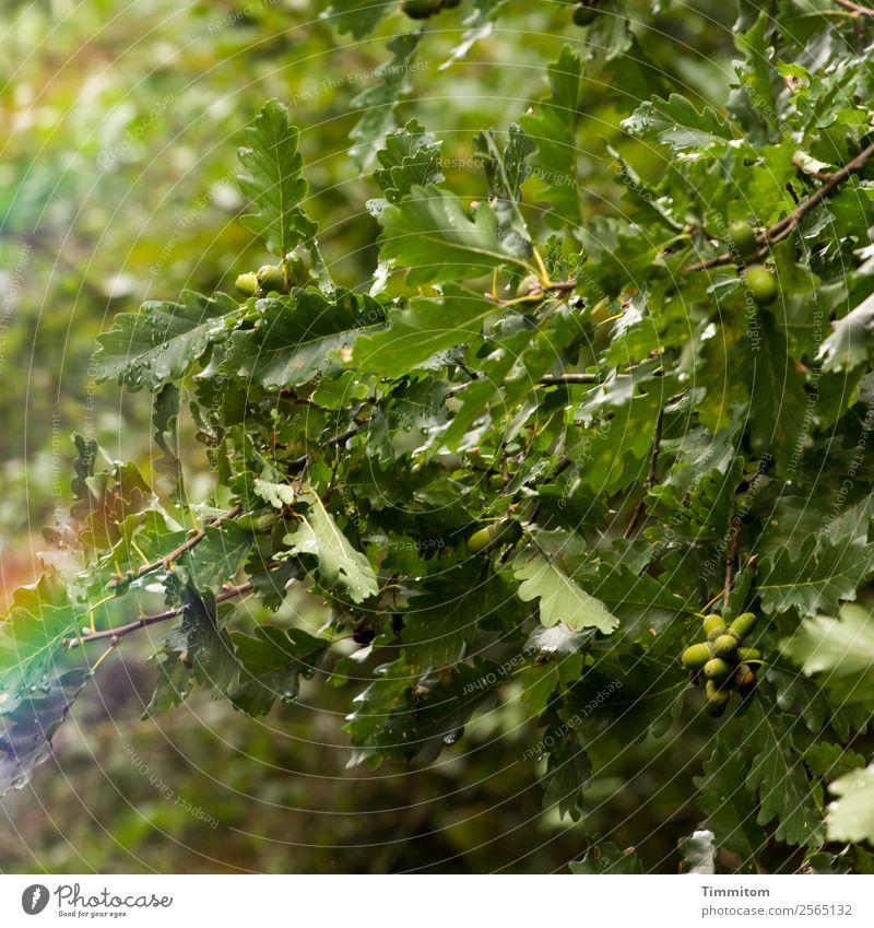 Eiche mit Eicheln Umwelt Natur Herbst Baum Eichenblatt Wachstum grün Farbfoto Außenaufnahme Menschenleer Licht Schatten Reflexion & Spiegelung Sonnenlicht