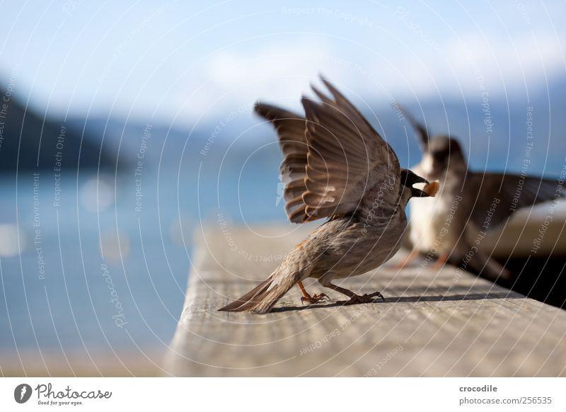 New Zealand 176 Umwelt Natur Schönes Wetter Küste Seeufer Strand Tier Wildtier Vogel Spatz 2 fliegen Fressen Freude Farbfoto Außenaufnahme Nahaufnahme