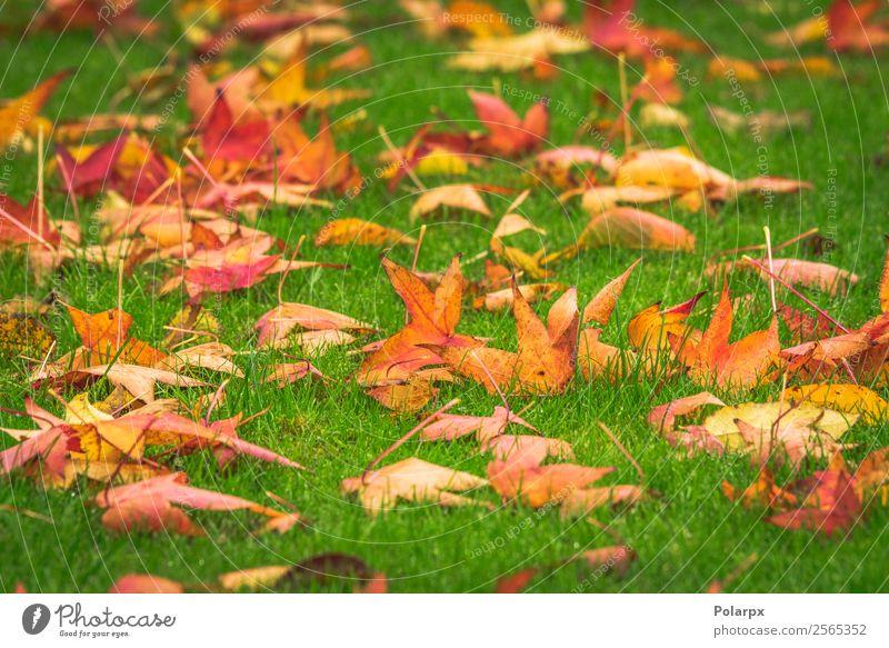 Goldene Ahornblätter auf einem grünen Rasen Design schön Garten Natur Landschaft Pflanze Herbst Baum Gras Blatt Park hell natürlich gelb gold rot Farbe fallen