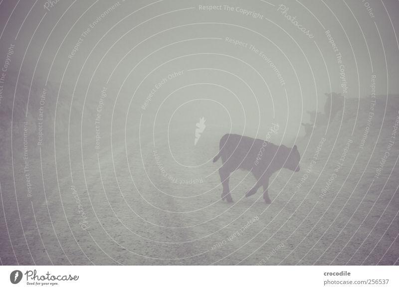New Zealand 178 Tier Wege & Pfade Kuh Verkehrswege Nutztier Kalb
