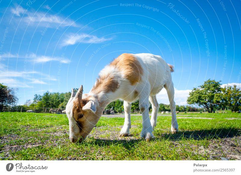 Ziege frisst im Frühjahr frisches grünes Gras auf einem Bauernhof. Essen schön Sommer Baby Natur Landschaft Tier Frühling Wiese Pelzmantel Haustier Fressen
