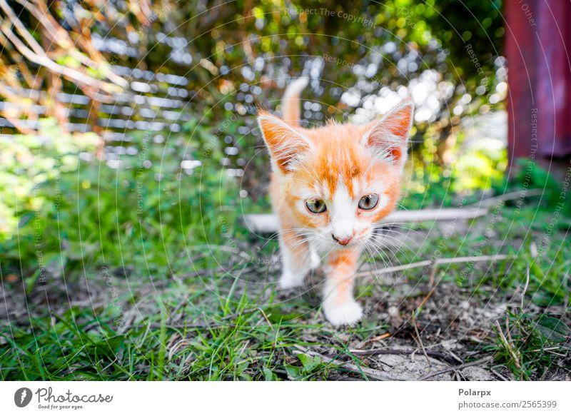 Süßes Kätzchen in orangefarbener Farbe, das im Garten spielt. Freude Glück schön Spielen Sommer Baby Freundschaft Natur Tier Gras Wiese Pelzmantel Haustier