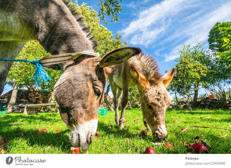 Esel essen rote Äpfel von einem Rasen. Frucht Apfel Glück Gesicht Sommer Natur Landschaft Tier Himmel Gras Wiese Pelzmantel Haustier Pferd Fressen lustig