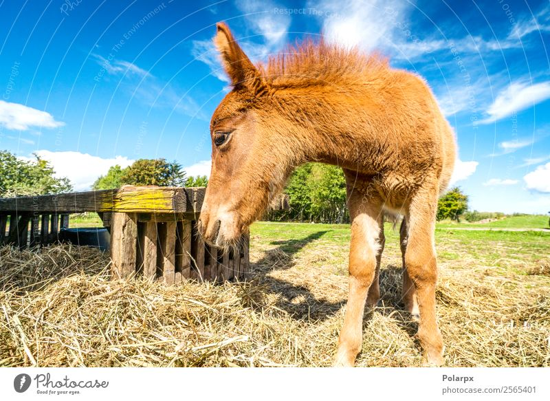Fohlen essen im Sommer Heu auf einem Bauernhof. Essen schön Natur Tier Gras Pferd Fressen stehen klein natürlich niedlich braun grün ländlich Mähne Säugetier