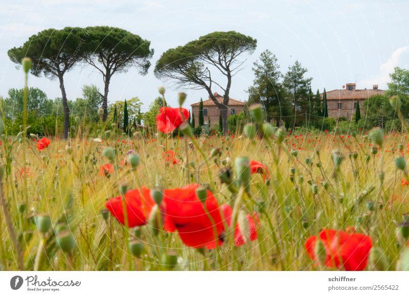 Mohnfeld in der Toskana Landschaft Pflanze Baum Nutzpflanze Feld Haus rot Italien Mohnblüte Mohnkapsel Mohnblatt Zypresse Pinie mediterran Außenaufnahme