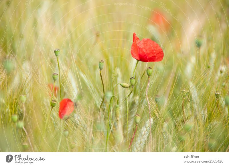 I dont like Mohndays VI Natur Pflanze Sommer Blume Nutzpflanze Feld grün rot Mohnblüte Mohnfeld Mohnkapsel Getreidefeld Feldfrüchte Weizen Weizenfeld Farbfleck
