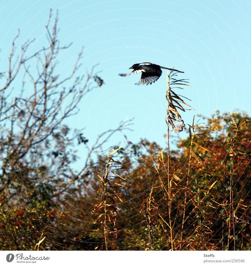 Im Schnellflug Natur Landschaft Wolkenloser Himmel Herbst Schönes Wetter Sträucher Tier Vogel Elster Flügel fliegen frei Geschwindigkeit blau Freiheit Dynamik