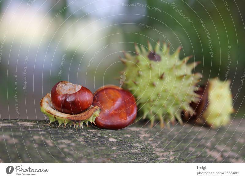 Kastanien Natur Pflanze grün Leben Herbst Umwelt Holz natürlich braun grau Stimmung Park liegen ästhetisch Schönes Wetter Vergänglichkeit
