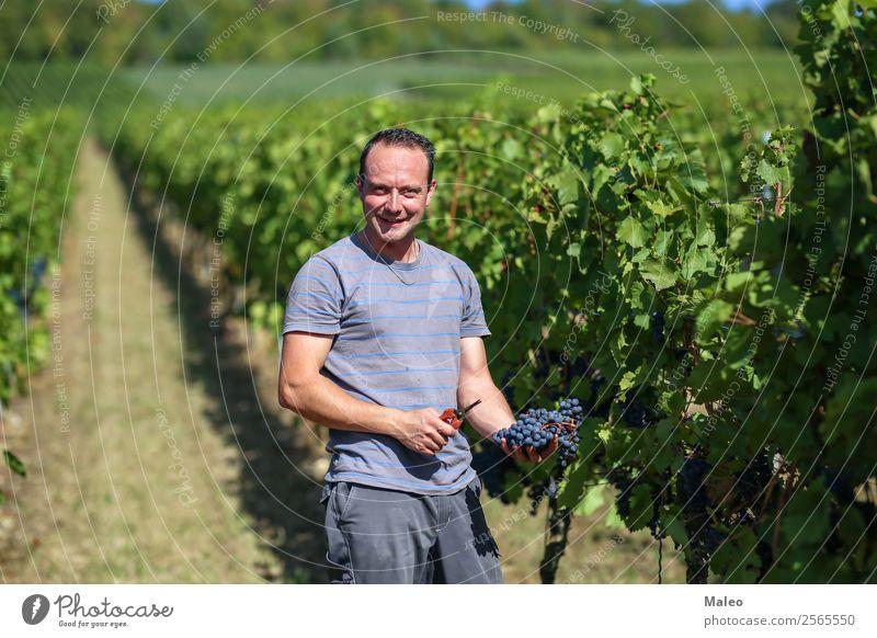 Ernte von Trauben Weintrauben Weinpresse Winzer Trauben stampfen Weinbau Weinlese Weinberg Arbeit & Erwerbstätigkeit Landwirtschaft Herbst Landschaft Frucht