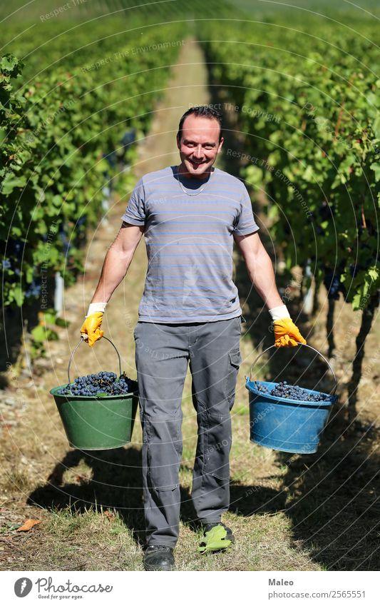 Weintraubenlese Ernte Weinpresse Winzer Trauben stampfen Weinbau Weinlese Weinberg Arbeit & Erwerbstätigkeit Landwirtschaft Herbst Landschaft Frucht grün Blatt