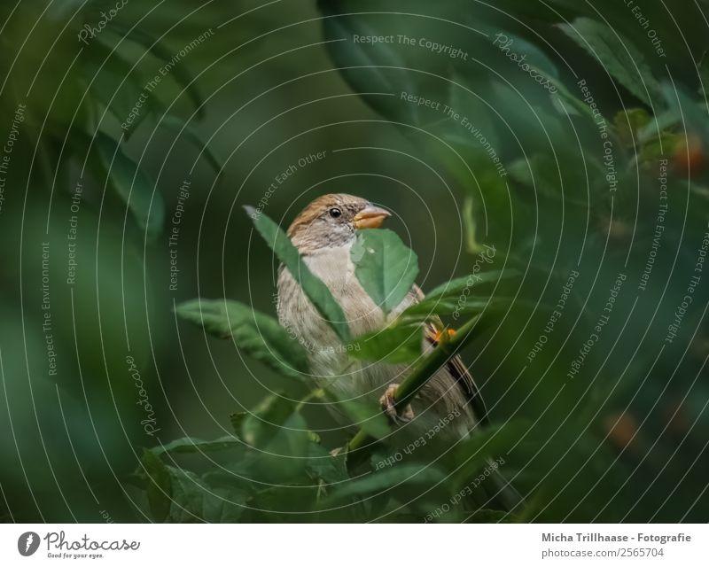 Sperling im Laub Natur Tier Sonnenlicht Schönes Wetter Pflanze Baum Sträucher Blatt Wildtier Vogel Tiergesicht Flügel Krallen Spatz Sperlingsvögel Schnabel