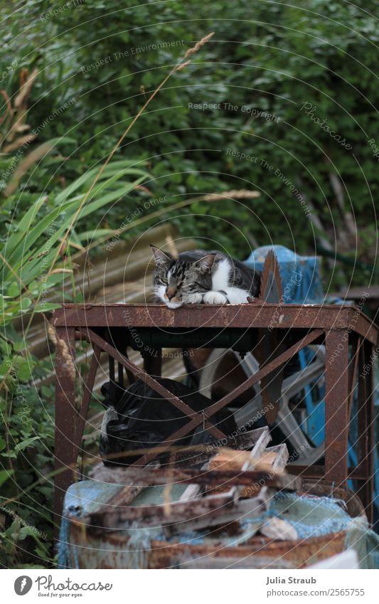 Kreissäge Katze schläft Natur Schönes Wetter Gras Sträucher Garten Haustier Tiergesicht 1 liegen schlafen träumen grün Gelassenheit ruhig Säge Mut Farbfoto Tag