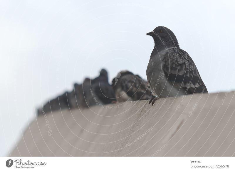 Tauben in Mitte Himmel Stadt Tier Umwelt Wand grau Mauer Vogel sitzen Beton Wildtier Tiergruppe