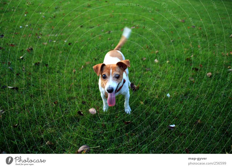 spiel mit mir Hund 1 Tier glänzend Kommunizieren leuchten authentisch Fröhlichkeit Glück Neugier braun grün weiß Vorfreude Vertrauen loyal Sympathie