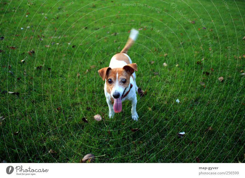 spiel mit mir Hund grün weiß Tier Leben Glück braun Freundschaft glänzend leuchten authentisch Fröhlichkeit Kommunizieren Hilfsbereitschaft Neugier Vertrauen