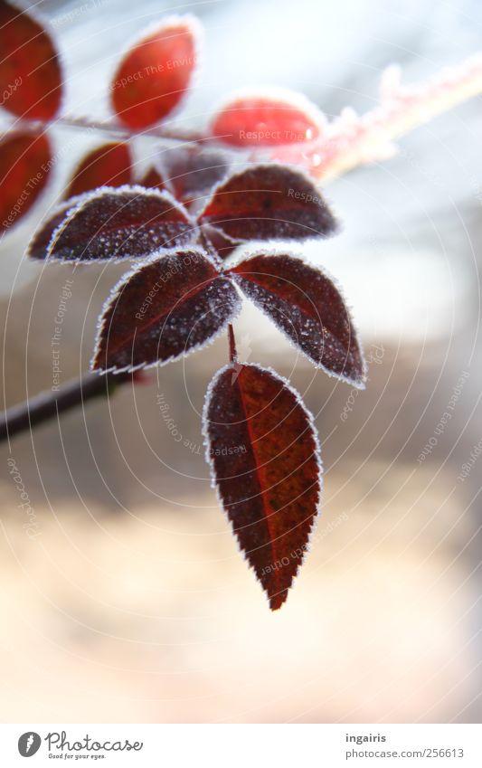 Eiszeit Natur blau schön Pflanze rot Winter Blatt Leben kalt Garten Eis rosa natürlich Frost Romantik Jahreszeiten