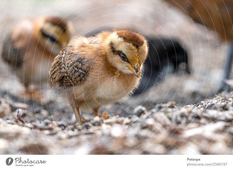 Ein kleines Huhn ist frei auf einem Bauernhof herumgelaufen. schön Leben Ostern Baby Frau Erwachsene Natur Tier Frühling Gras Haustier Vogel Holz natürlich