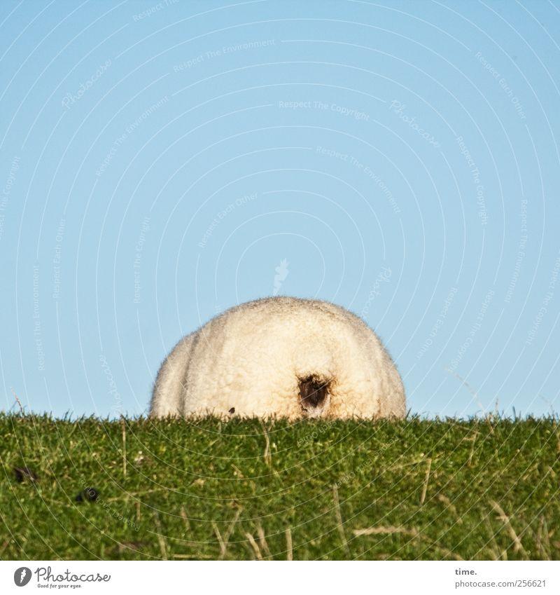Arschkarte* Landwirtschaft Forstwirtschaft Tier Himmel Gras Wiese Fressen lustig grün skurril Schaf Deich Hälfte Rücken Hinterteil Wolle Vierbeiner Halm