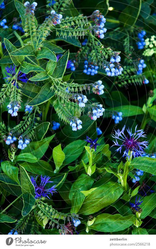 Kornblume im Hochformat Natur Pflanze grün Blume Hintergrundbild Blüte Textfreiraum Wachstum Blühend Umweltschutz Verschiedenheit Vielfältig Korbblütengewächs