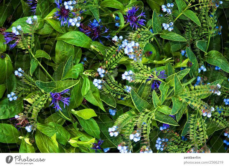 Kornblumen (und andere) Natur Blume Blüte Blühend Pflanze Cyanus segetum Hill Zyane Korbblütengewächs Hintergrundbild grün Textfreiraum Menschenleer Wachstum