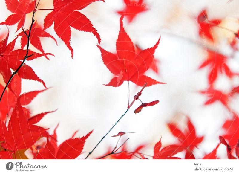 rot Natur Pflanze Herbst Baum ästhetisch Blatt Färbung Zweig Ahornblatt Japanischer Ahorn Farbfoto Menschenleer Tag Schwache Tiefenschärfe