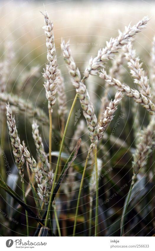 Weizen Natur grün Pflanze Herbst Ernährung Gras Feld Wachstum dünn Getreide lang Landwirtschaft beige Forstwirtschaft Vegetarische Ernährung