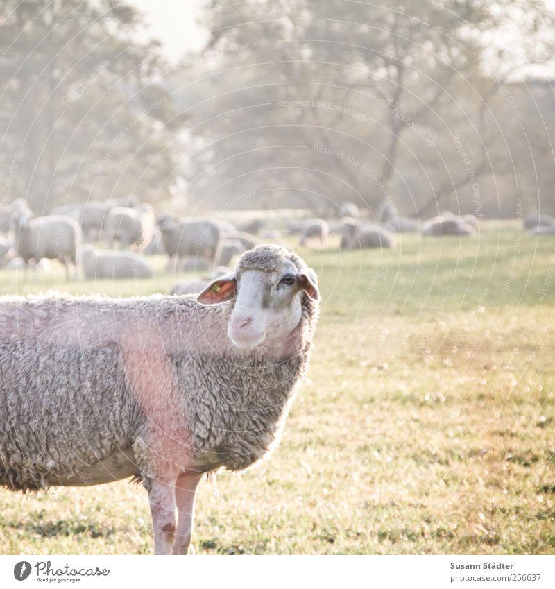 Chamansülz | abschiedsmäh. Tier Nutztier Wildtier Blick elegant Schaf Schafherde Schaffell Wiese Weide Zaun gefangen Licht Baum Außenaufnahme Menschenleer