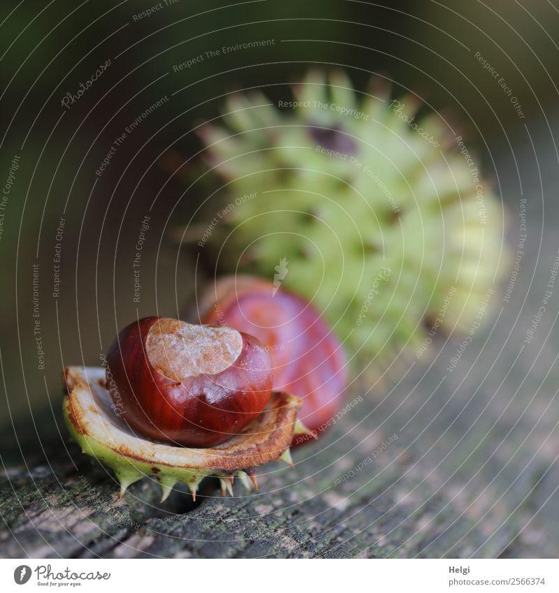 Herbstfrüchte Umwelt Natur Pflanze Kastanie Frucht Hülle Park Holz liegen dehydrieren einzigartig klein natürlich braun grau grün Stimmung Leben Vergänglichkeit