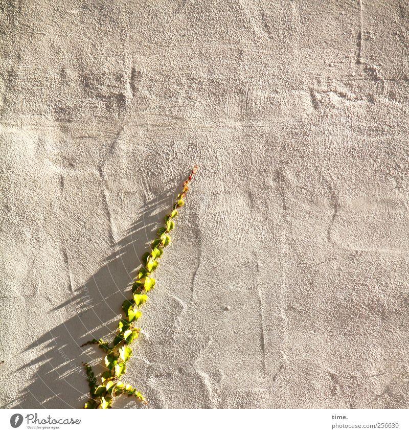 Nachschub | ChamanSülz Pflanze Efeu ästhetisch Kommunizieren Wachstum Wand klettern Sonnenlicht Schatten Oberfläche grün Putz Mauer Farbfoto Gedeckte Farben