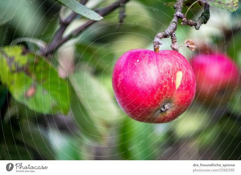 Apfel an Baum Apfelbaum grün Farbfoto Frucht Natur Außenaufnahme Menschenleer Sommer fruchtig Pflanze Garten Blatt Schwache Tiefenschärfe Gesundheit Nutzpflanze