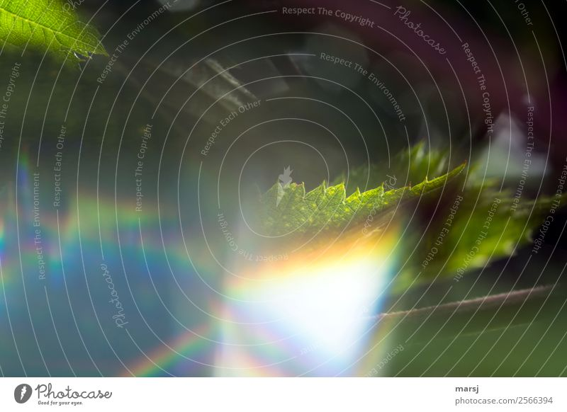 Brombeerblatt im Farbenrausch Natur Sommer Pflanze Blatt leuchten einzigartig Spitze Surrealismus Euphorie skurril seltsam falsch Zacken Farbverlauf