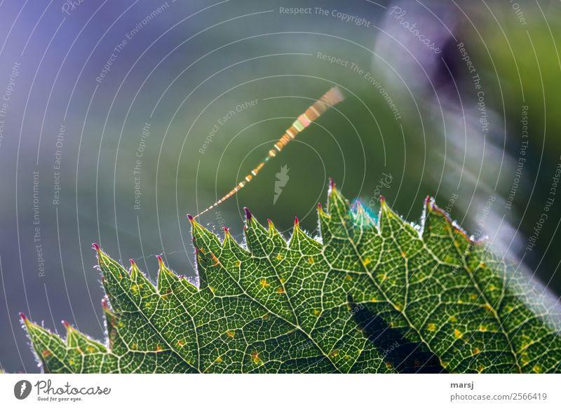 Brombeerblatt mit Zündschnur Natur Sommer Blatt Brombeerblätter Spinnennetz glänzend leuchten außergewöhnlich authentisch frisch einzigartig grün gezackt