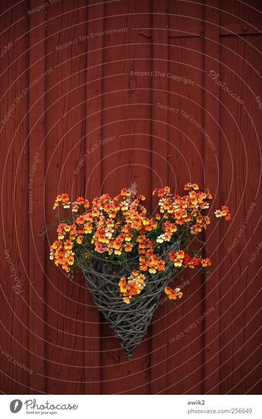 Nemesiae schön rot Pflanze Blume gelb Wand klein Blüte Mauer orange natürlich außergewöhnlich Häusliches Leben viele Idylle Freundlichkeit
