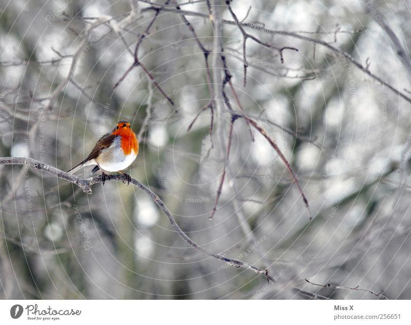 Vögelchen mit Schal Winter Baum Sträucher Wald Tier Vogel 1 klein rot Ast Zweige u. Äste Rotkehlchen Farbfoto mehrfarbig Außenaufnahme Menschenleer