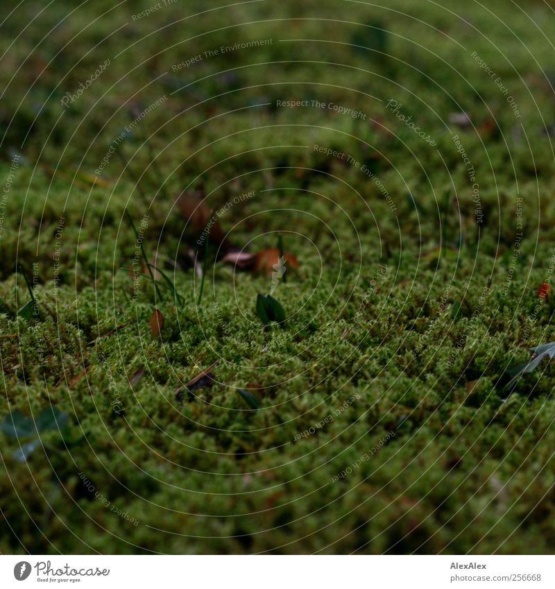 Ohne Moss nix los Umwelt Natur Pflanze Moos Moosteppich Blatt Halm Wiese Wachstum natürlich braun grün ruhig Farbfoto Außenaufnahme Tag Schwache Tiefenschärfe