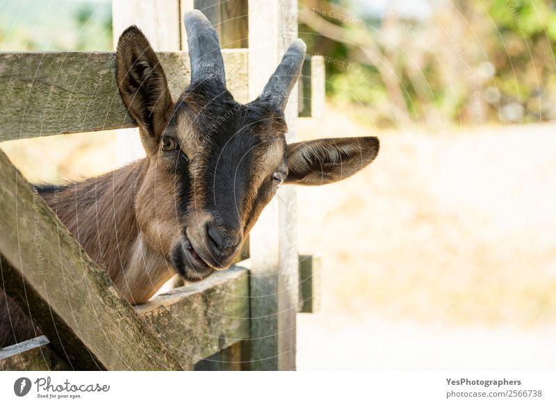 Junge Ziege beim Kauen Natur Tier Nutztier Tiergesicht 1 Freundlichkeit Fröhlichkeit lustig braun Ackerbau Tiere seltsam heimisch Nutztiere Großgrundbesitz