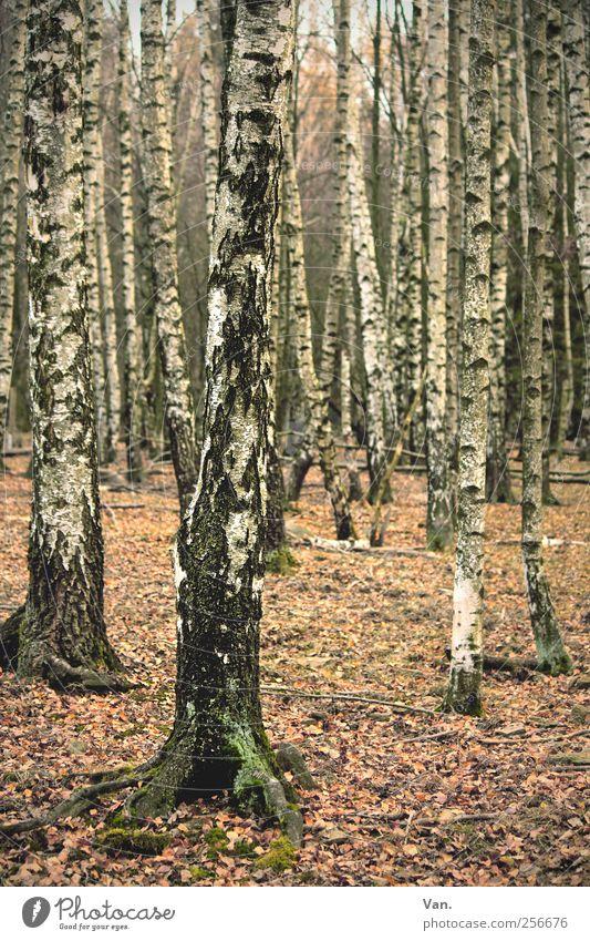 Birkenwäldchen Umwelt Natur Pflanze Erde Herbst Baum Blatt Laubbaum Laubwald Wald Holz hell herbstlich Baumrinde Baumstamm ruhig Farbfoto Gedeckte Farben