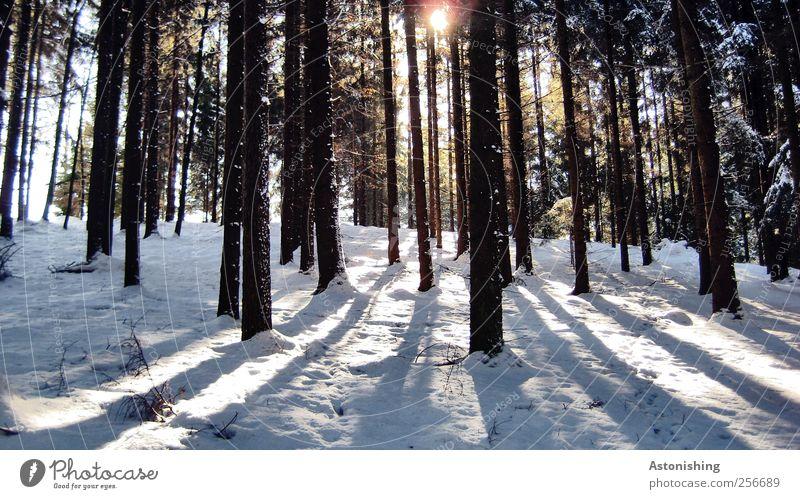 durch den Wald Umwelt Natur Landschaft Pflanze Sonne Sonnenlicht Winter Wetter Schönes Wetter Eis Frost Schnee Baum stehen hoch kalt schön Gegenlicht Baumstamm