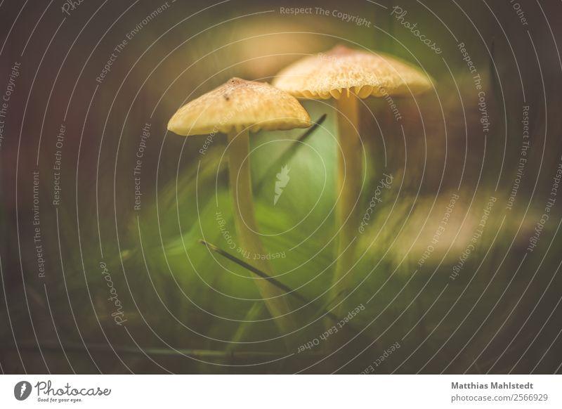 Pilze im Rasen Umwelt Natur Pflanze natürlich braun grün Wachstum Farbfoto Gedeckte Farben Außenaufnahme Makroaufnahme Menschenleer Textfreiraum links